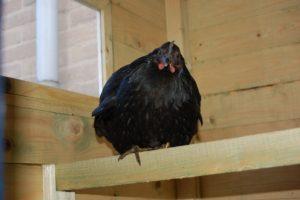 kleine kuikens grote zwarte lullen vrijblowjob
