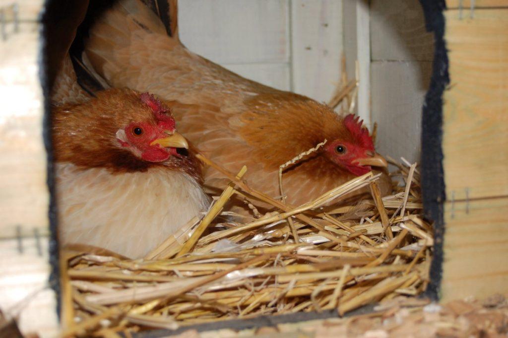 Broedende kippen op stro