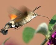 Kolibrievlinder