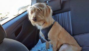 Hond adopteren Griekenland - patellaluxatie
