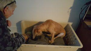 Hond adopteren buitenland - patellaluxatie
